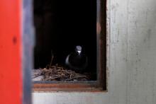 Pigeon Inside A Dark Closet In Wall