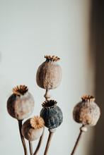 Dry Poppy Heads