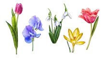 Watercolor Tulips, Galanthus, Sweet Peas, Crocus Isolated On White Background. Spring Flowers. Vintage Flowers. Botanical Hand Drawn Illustration For Postcards, Souvenirs, Creating Invitations, Cards
