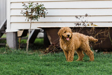 Groodle Puppy Stands In Backyard