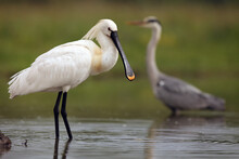 Eurasian Spoonbill Or Common Spoonbill, Platalea Leucorodia, In A Pond, Grey Heron In The Green Background.