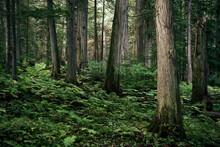 Cedar Trees In The Rain Forest.