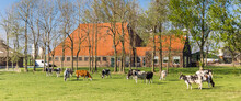 Panorama Of Cows In Front Of A Typical Dutch Farm In Noordoostpolder, Netherlands