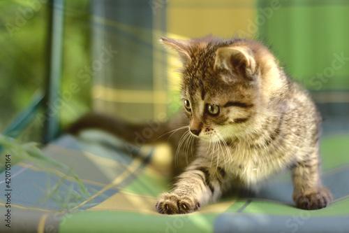 Canvas Print El gatito
