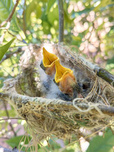 Hungry Baby Birds In A Nest