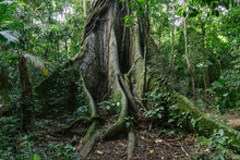 Roots Old Ceiba Tree In Costa Rica Rainforest