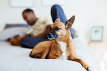Cute Purebred Dog Resting On Bed With Owner