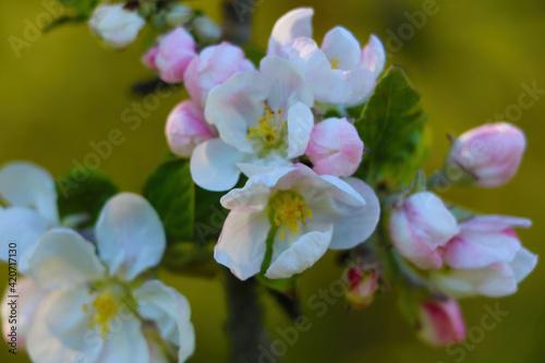 Fototapeta The apple tree branch blooms in the spring in the garden. obraz na płótnie