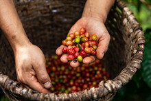 Hands Of Farm Worker At Organic Coffee Farm In Costa Rica