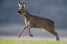 Roe Deer Buck Running