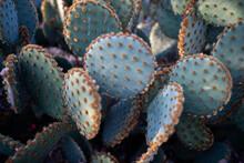 Prickly Pear Cactus