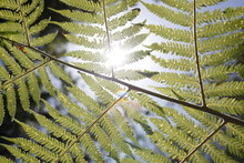 The Underside Of A Fern, Backlit By The Sun On A Clear Summer Day.