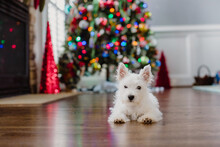 Cute Small White Puppy Laying On The Floor In Front Of A Christmas Tree