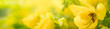 canvas print picture - Nature of yellow flower in garden using as background natural flora cover page or banner design