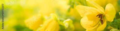 Fotografia Nature of yellow flower in garden using as background natural flora cover page o