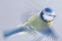 Blue Tit Fly In Motion Blur