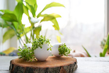 Microgreens In The Eggshells On Wooden Background, Easter Concept