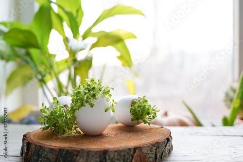 Fotografia, Obraz microgreens in the eggshells on wooden background, easter concept