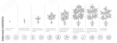 Foto Plant growth stages infographic