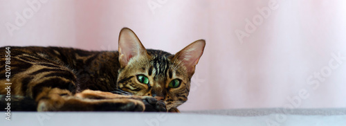 Fotografia Gray tabby cat relaxing on a pink background