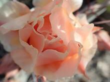 Pink Prickly Pear Cactus Blooms
