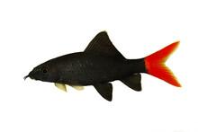 Red Fire Tail Shark Catfish Epalzeorhynchos Bicolor Aquarium Fish Isolated