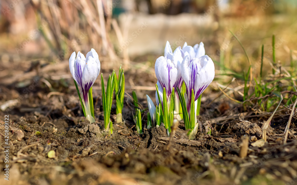 Fototapeta Beautiful gently purple with white blooming spring flowers crocus growing in garden. Closeup flora garden plant, natural colors. Sunny spring day.