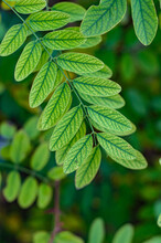 Fresh Green Leaves Acacia For Texture Background. Lush Vegetation Close-up.