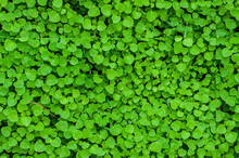 Fresh Green Leaves For Seamless Texture Background. Lush Vegetation Close-up.