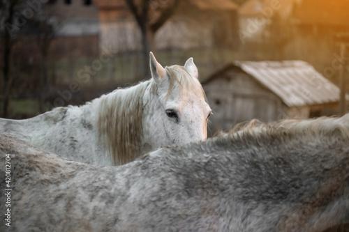 Obraz na plátne White, equestrian, wild horses in the forest