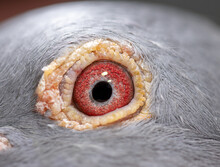 Unique Pigeon Eye. Wild Grey Bird Eye