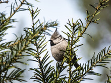 Beautiful Grey Songbird - The European Crested Tit Sitting On A Branch Of Juniper In The Early Spring