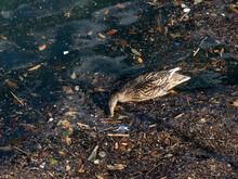 Wild Duck Swimming In Plastic Rubbish Garbage Sea
