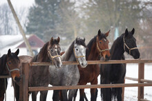 Portraits Of Trotter Horses Of Different Coat Colors In The Paddock On A Cloudy Winter Day
