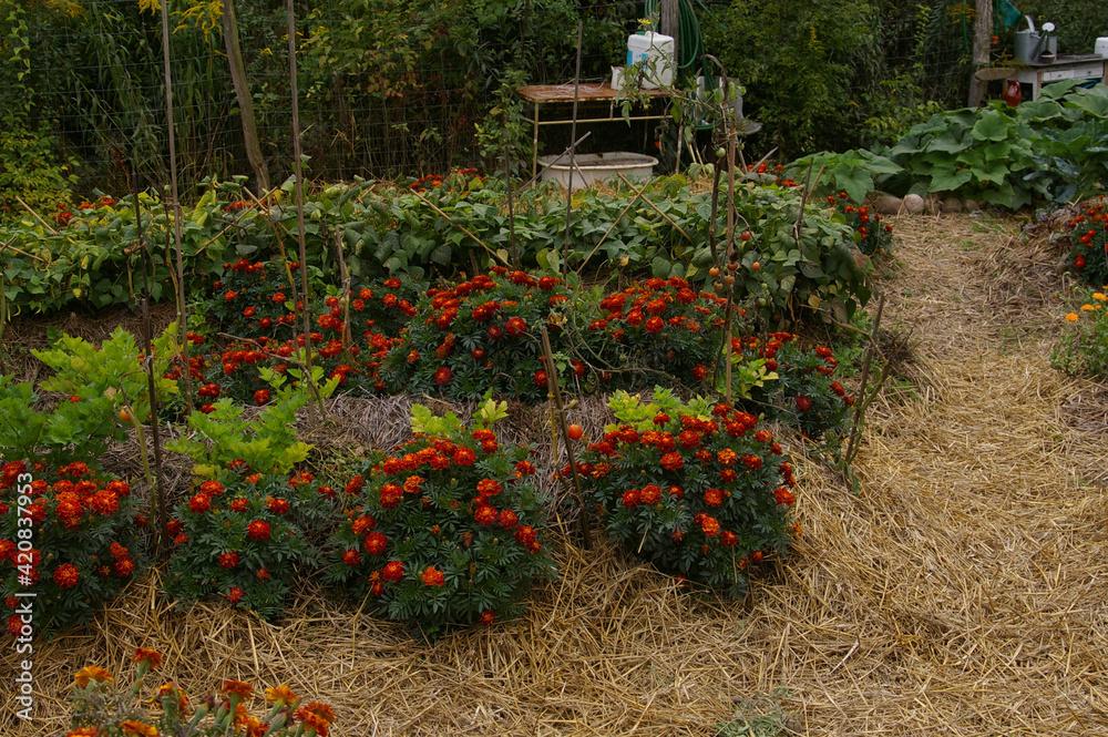 Obraz ogród warzywny, uprawa warzyw, jarzyny w ogrodzie, warzywniak, wieś, rolnictwo, zdrowie, rośliny,  fototapeta, plakat