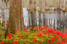 USA, South Carolina, Springtime At Cypress Gardens Pond And Cypress Trees