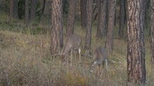 White-tailed Deer Buck Doe Pair Alarmed Running Fleeing Fall Tail Up White Tail