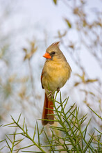 USA, Texas, Mission, Dos Venadas Ranch. Female Northern Cardinal On A Spiky Perch.