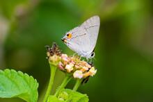 Gray Hairstreak Feeding.