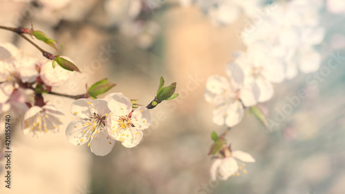 Foto spring background, blossoming cherry tree, flowers on the tree blossomed in spri