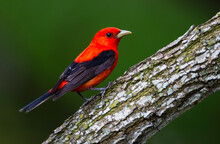 Scarlet Tanager Perched.