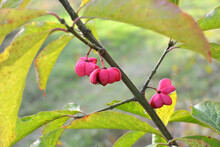 On A Branch Of Euonymus Europaeus Ripened Fruits With Boxes