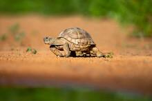 Texas Tortoise (Gopherus Berlandieri) Walking.
