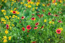 Firewheels (Gaillardia Pulchella) In Bloom.