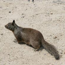Closeup Shot Of A California Ground Squirrel In Nature