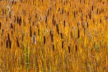 USA, Utah, Wasatch Mountains. Cattails In Field.