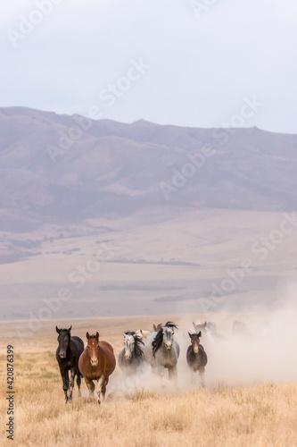 Obraz USA, Utah, Tooele County. Wild horses walking. - fototapety do salonu