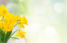 Yellow Spring Narcissus Flowers Scene