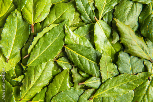 Fototapeta Fresh green bay leaves. obraz