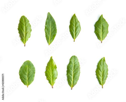 Fototapeta Fresh green bay leaves. obraz